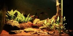 Nilwala basin (Sri Lanka) biotope aquarium.  Another excellent example of what some research can produce.