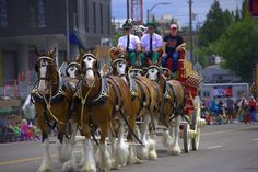 https://flic.kr/p/HYjnc1 | Budweiser Clydesdales | Budweiser Clydesdale's in the Grand Floral Parade, Portland, OR  2016