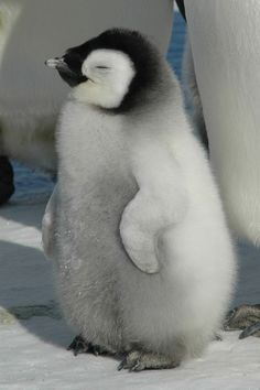 Here have a pic of the nice kind of #Penquin, no need to say thanks.