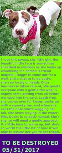 Manhattan Center  My name is DUCKY. My Animal ID # is A1112323. I am a spayed female white and brown pit bull mix. The shelter thinks I am about 1 YEAR  I came in the shelter as a STRAY on 05/17/2017 from NY 10459, owner surrender reason stated was STRAY.  http://nycdogs.urgentpodr.org/ducky-a1112323/