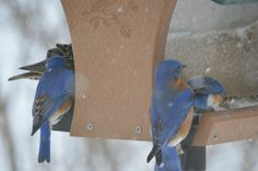 More like the bluebirds of hungriness.