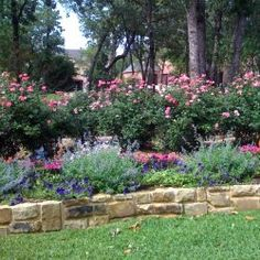 Pink Knockout Roses With Purple Wave Petunias Catmint And Verbena Texas Landscape Choices