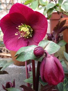 Plants for shade: hellebore (Helleborus 'Anna's Red'). The first red-flowering hellebore to have marbled foliage. Masses of striking flowers are produced in late-winter and spring.