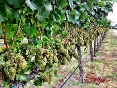 Chardonnay clusters continue to ripen Sept. 14, 2013 at Kestrel View Estate Vineyard in Prosser, Wash.
