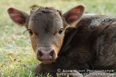 Dexter Cattle-the mini cow.  I WANT ONE!!!!!!!
