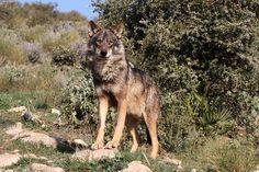 Iberian Wolf, Canis lupus signatus | by Ian Macfadyen