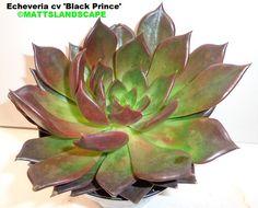 Echeveria cv 'Black Prince' get it @ Epicacti.com