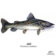 peixe_jau Rare Animals, Animals And Pets, Fish Mounts, Scientific Drawing, Oriental Flowers, Cool Fish, Fish Illustration, Fish Drawings, Types Of Fish
