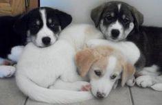 Carolina Litter is an adoptable Siberian Husky Dog in Minneapolis, MN. Meet Carolina's litter, born 7.19.12. Carolina came into MUSHR when she was already pregnant. She had these 3 beautiful baby boys...