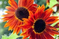 Sunflowers make wonderful additions to the garden and are ideal warm season annuals for California's warm and dry Mediterranean summers. Here are five tips for planting sunflowers.