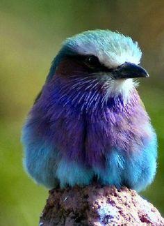loriedarlin: http://www.redbubble.com/people/yampimon/works/5810329-pretty-little-bird-2-lilac-fronted-roller