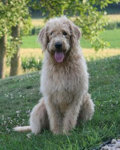 F1 Labradoodle Wisconsin