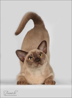 Cute Cats And Kittens, Cool Cats, Purebred Cats, Animal Yoga, Cat Species, Cat Pose, Unique Cats, Lovely Creatures, Cat Colors