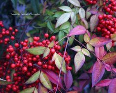 Tuinblog | Tuinatelier Herman & Vermeulen : Nandina of hemelse bamboe Nandina Plant, Groot, Flowers, Plants, Garden Ideas, Trees, Gardening, Florals, Lawn And Garden