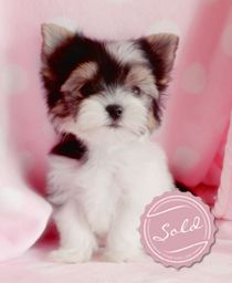 Beautiful Biewer Yorkie Puppy