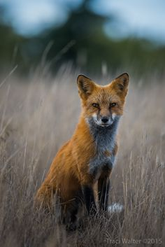 Red Fox at dusk on San Juan Island. Photo by Traci Walter.