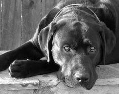 """English Labrador Retriever"" by Larry Marshall Photography, via 500px."