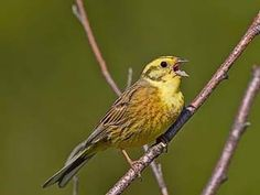 Gulsparv, Emberiza citrinella - Fåglar - NatureGate