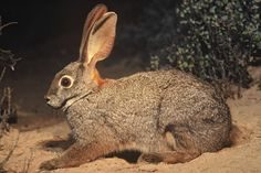 The Riverine Rabbit, found in South Africa, is a true rabbit; its elongated body is an adaptation to its desert habitat. Unlike other rabbits it only produces one offspring at a time and is critically endangered with approximately 250 adults left.  The genus name is Bunolagus. (Think about it.)