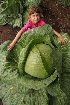 100Seeds Rare Giant Russian Cabbage Seeds, High Quality Vegetable for home garden-in Bonsai from Home & Garden on Aliexpress.com | Alibaba Group