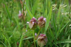 Lamium purpureum, red dead-nettle, lamier pourpre, シソ科オドリコソウ属ヒメオドリコソウ May 2016