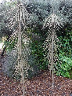 Toothed lancewood (Pseudopanax ferox) x Garden Landscape Design, Garden Landscaping, Dr Seuss Trees, Jungle Gardens, Rare Plants, Small Trees, Plant Design, Cool Plants, Native Plants