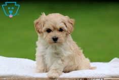 Annie | Maltipoo Puppy For Sale | Keystone Puppies