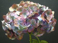 gorgeous..antique purple hydrangea