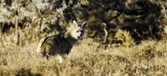 Aardwolf (watermarks are only being used to protect images) by Chad Wright on www.digitalgallery.co.za