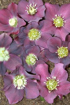 Helleborus PDN Violet --- Great new hellebore selection in violet, mauve, lavender tones.