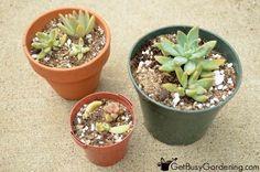 Newly Propagated Succulent Plants