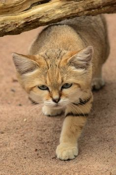Sand cat - (Felis margarita) Photo taken at Parken Zoo Eskilstuna, Sweden Small Wild Cats, Big Cats, Cool Cats, Cats And Kittens, Super Furry Animals, Cute Animals, Beautiful Cats, Animals Beautiful, Kittens