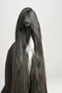 The Afghan Hound in America is an educational site all about the Afghan Hound. Before adopting an Afghan Hound learn all about this dog. The Afghan Hound is not just another dog. Big Dogs, I Love Dogs, Cute Dogs, Dogs And Puppies, Doggies, Afghan Hound, Beautiful Dogs, Animals Beautiful, Beautiful Cover