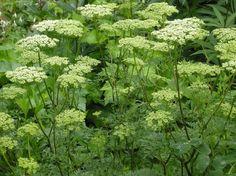 Cenolophium denudatum | How to Grow Baltic parsley in your Garden