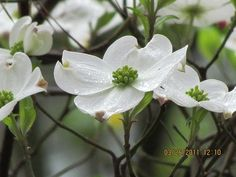 dogwood blooms in the springtime...I absolutely love dogwoods, although they do not grow well in my part of Texas