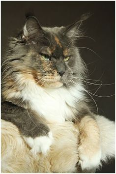 Katzen http://www.mainecoonguide.com/maine-coon-personality-traits/