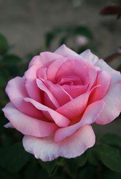 'Sweet Parole' Rose ~ Germany