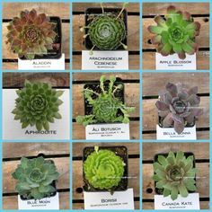 Sempervivum Collection 9 Pack AC1 Winter Hardy by SucculentJungle, $27.00