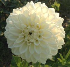 A nice pure white dahlia with strong sturdy stems, and nice in any arrangement or bride bouquet.