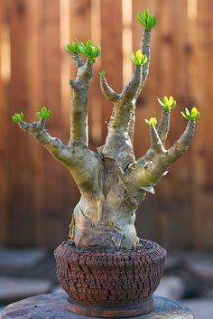 Jade Plant Bonsai, Succulent Bonsai, Jade Plants, Bonsai Art, Succulent Gardening, Succulents In Containers, Bonsai Plants, Bonsai Garden, Cacti And Succulents