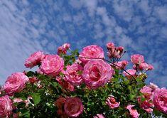 Free photo: Roses, Pink, Bush, Flowers, Garden - Free Image on . Roses Pink, Pink Rose Flower, Knockout Roses, Aesthetic Roses, Rosa Rose, Hybrid Tea Roses, Rose Bush, Rose Photos, Rose Wallpaper
