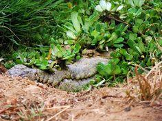 """Te da miedo?  Más aterrador es que ya no sigamos viéndolos por aquí creemos.  Este curioso reptil es nada menos que nuestro caimán del Orinoco. Tal vez una de las especies más representativas de la fauna llanera y la de toda Venezuela.  Lo primero que debemos decir sobre el caimán del Orinoco es que no se alimenta de personas es decir no """"comen gente"""". Ellos prefieren capturar algunos peces de río rayas garzas chiguires y otros animales que se acercan a beber al agua.  Sí sabemos que los…"""