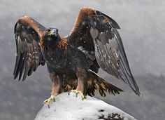 VS.                     Golden Eagle