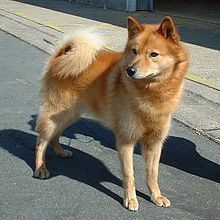 finnish spitz... this is my dream breed... awww isn't she a cutie?! any MN breeders out there ?!?!?!   via Google Search
