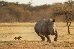 Is that a dog chasing a rhino??