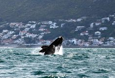 A whale is seen near the shore of Muizenberg beach in South Africa's False Bay near Cape Town on Friday. Southern right whales visit the coastline of South Africa annually, using the sheltered bays as their breeding ground. Bryde's Whale, Humpback Whale, Whales, Costa, Monkey Park, Animal Tracks, The Weather Channel, Pictures Of The Week, Sea Creatures