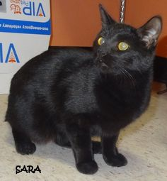 ADOPTED! Tag# 7842 Name is Sara  Black Manx  Female Approx. 5 months old SWEET girl!  Located at 2396 W Genesee Street, Lapeer, Mi. For more information, please call 810-667-0236  https://www.facebook.com/267166810020812/photos/a.806314516106036.1073742132.267166810020812/806320012772153/?type=3&theater