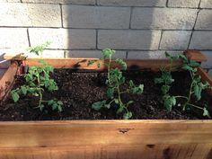 Tomatoes week 1