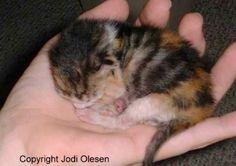 www.messybeast.com/handrear.htm White Kittens, Cats And Kittens, Ragdoll Kittens, Bengal Cats, Kitty Cats, Kitten Rescue, Kittens Cutest, Funny Kittens, Norwegian Forest Cat
