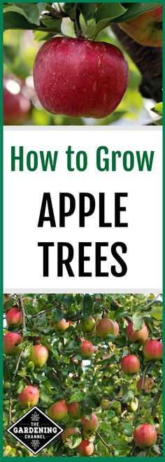 Don't miss these growing tips to grow your own apples with this guide on how to grow an apple tree #appletree